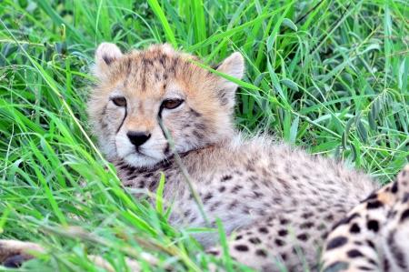 jubatus: Cheetah cub  Acinonyx jubatus  lying under a tree, South Africa Stock Photo