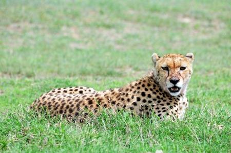 Cheetah Stock Photo - 15882105