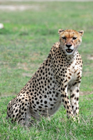 Cheetah Stock Photo - 15882119