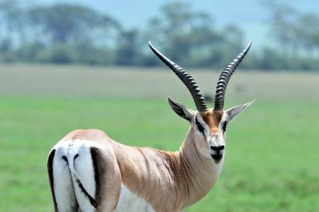 Male Grant s gazelle in the Serengeti National Park, Tanzania