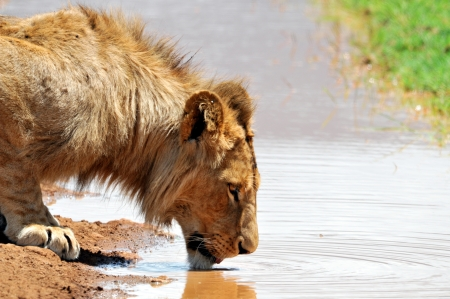Male Lion Drinking photo