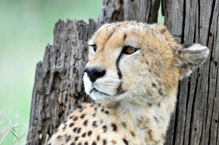 Cheetah Stock Photo - 15882118