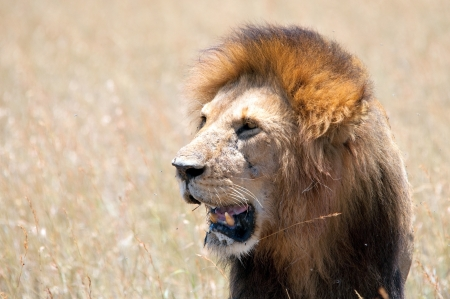 Majestic lion male with golden mane, Serengeti, Tanzania Stock Photo - 15882160