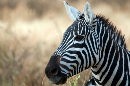 Zebra, Serengeti National Park, Tanzania, East Africa photo