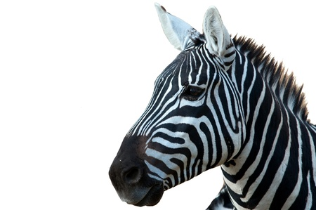 zebra head: Head of a zebra isolated from the background Stock Photo