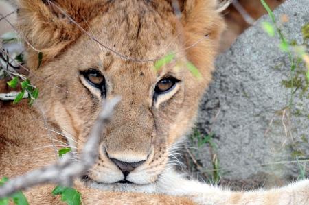 panthera leo: Cachorro de le�n Panthera leo