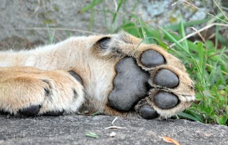 Lion s Paw Reklamní fotografie