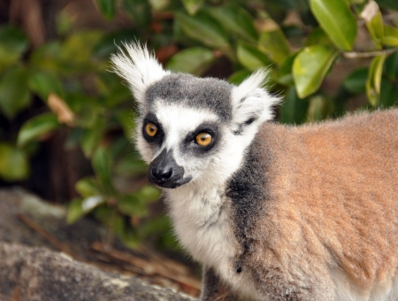 omnivores: Ring-tailed lemurs