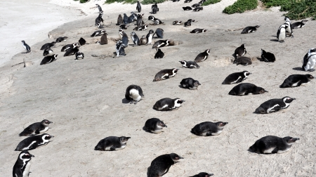 African Penguins - Boulders Beach, South Africa photo
