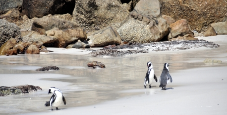 penguins on beach: African Penguins - Boulders Beach, South Africa Stock Photo