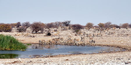 Zebra  equus quagga  drinking at a waterhole in Etosha National Park in Namibia  photo