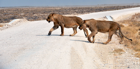 Lion walking in Etosha, Namibia photo