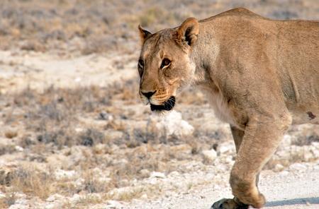 Lion walking in Etosha, Namibia photo