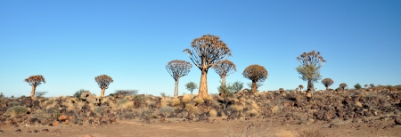 dichotoma: Desert landscape with granite rocks and quiver trees  Aloe dichotoma , Namibia, southern Africa Stock Photo