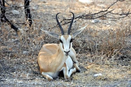 springbok: Springbok, Namibia Stock Photo