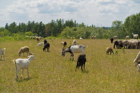 Goats and sheep flock peacefully feeding in meadow on sunny day. Agriculture concept, color image, copy space. 免版税图像