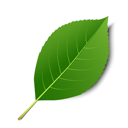 alder: Vector green leaf  isolated on a white background