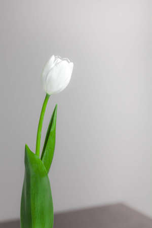 White Tulip on Grey Background photo