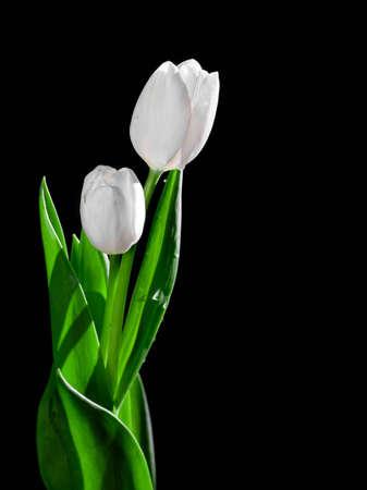 White Isolated Tulips Black Background Archivio Fotografico