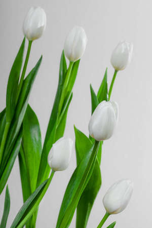 White Iolated Tulip on the Table and Grey Background photo