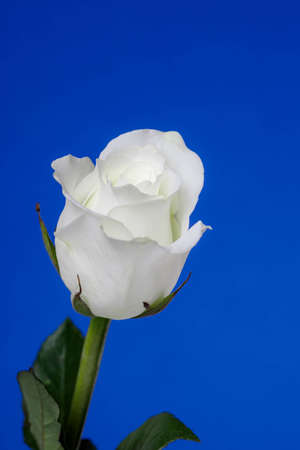 Single White Rose on Blue Vertical Background