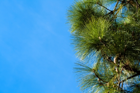 Green Pine Tree Branches on a Sky Background photo