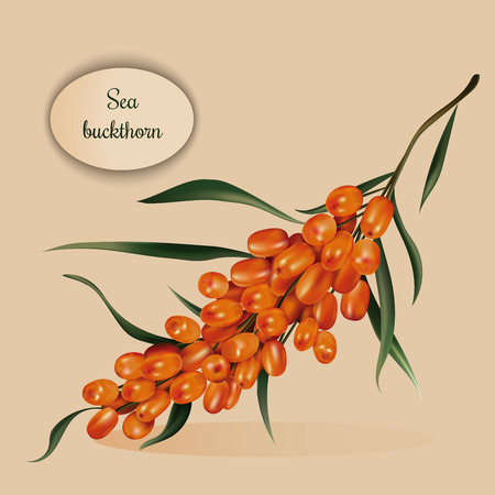 seabuckthorn: Photorealistic branch of ripe sea-buckthorn vector illustration