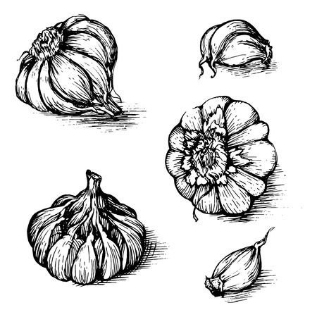 cloves: Vector hand drawn set of garlic with cloves. Spices sketch illustration isolated on white background.
