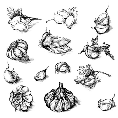 laurel leaf: Vector hand drawn set of garlic with parsley and laurel leaf. Spices sketch illustration isolated on white background.