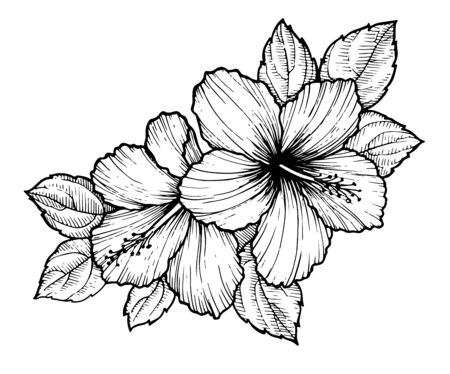 Hand drawn tropical hibiscus flower with leaves. Sketch florals on white background. Exotic blooms, engraving style for textile, surface design or banner. Great template for coloring book 向量圖像