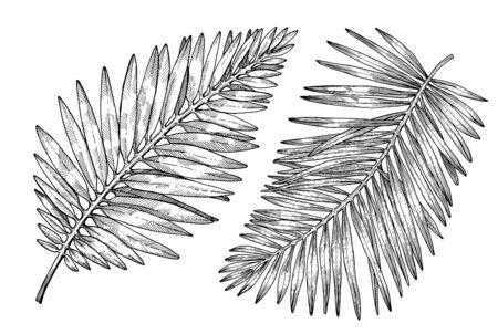 Hand drawn tropical palm tree leaves. Sketch on white background. Exotic engraving decoration for textile, surface design or banner. Great template for coloring book 向量圖像