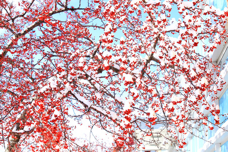 Winter berry in snow Banco de Imagens