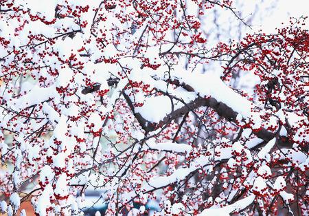Winter berry in snow in northeast snow storm 2014