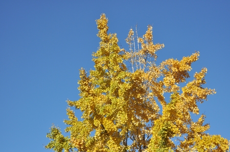 Top of Ginkgo tree photo