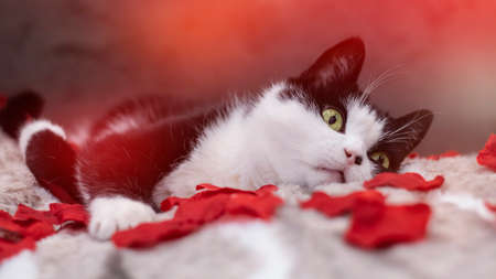 A black and white domestic cat lying on a bed with red rose petals. Close-up, red rose petals, Valentines Day headband. Banner with red bokeh hearts.