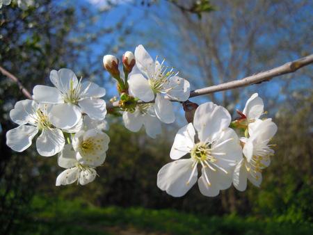 branch of cherry blossoms Фото со стока
