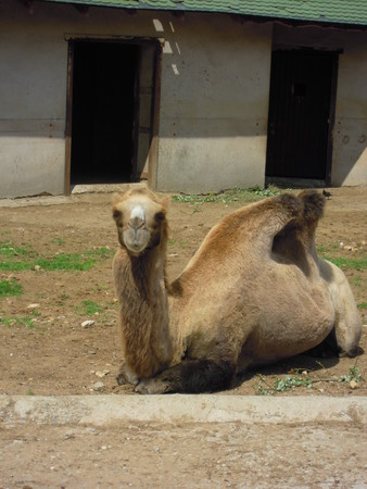 resting camel at the zoo