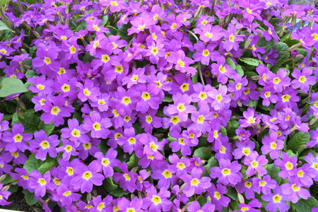 Background of violet flowers