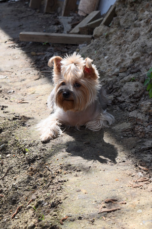 Yorkshire terrier lying in the sun