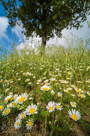 Carpet of daisies flowers and a tree in the background in a sunny day in the Oltrepo Pavese countryfields