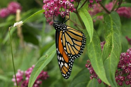 Monarch Butterfly resting upsidown on a flower Stock Photo - 1296919