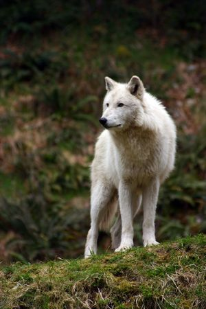 Large white wolf focused on something in the distance Banco de Imagens - 1296921