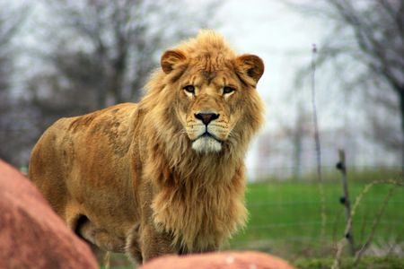Large male lion with full mane and patchy fur 版權商用圖片