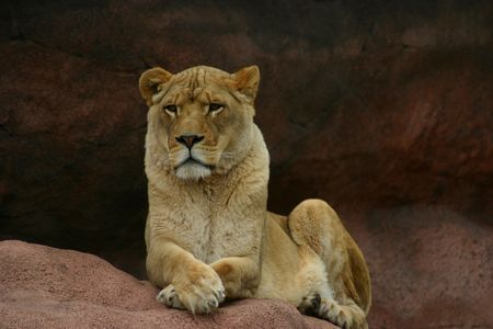 A large lioness sitting peacefully on a rock