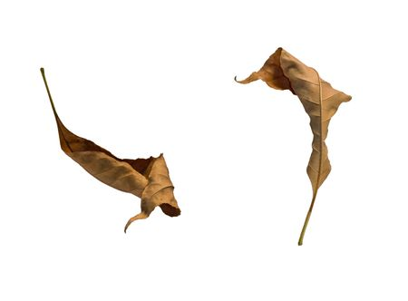 pinnately: Two dried up dead tree leaves