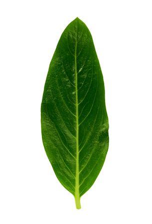 Isolated macro green tree leaf Stock Photo - 1296977