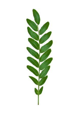 pinnately: Isolated macro green tree leaf Stock Photo