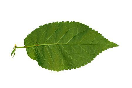 pinnately: Isolata macro albero a foglia verde Archivio Fotografico