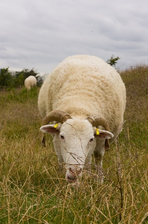 sheep grazing in a field photo