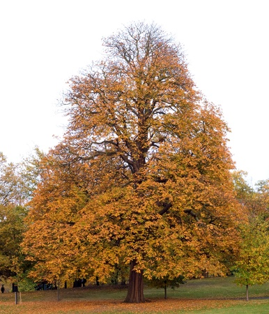 a tree in greenwich park at the end of october.  photo